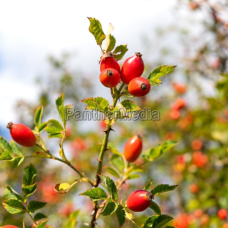 red rose hips on the shrup
