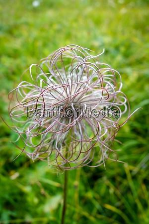 alpine anemone pulsatilla alpina in vanoise