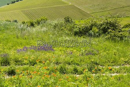vineyards palava region south moravia czech