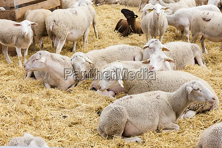 sheep on the farm provance france