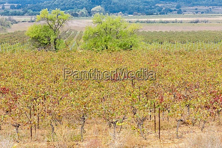 autumn vineyards in provence france