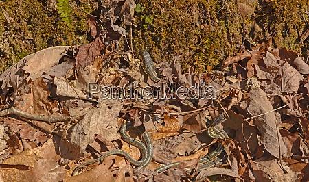 garter snakes emerging from a den