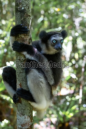 an indri lemur on the tree