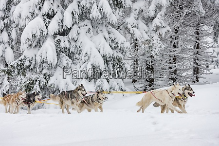 sledge dogging sedivaceks long czech republic