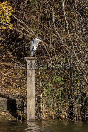 grey heron standing on a wooden