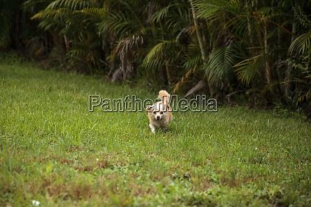 curious blond chihuahua dog explores a