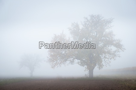 fog in november with trees