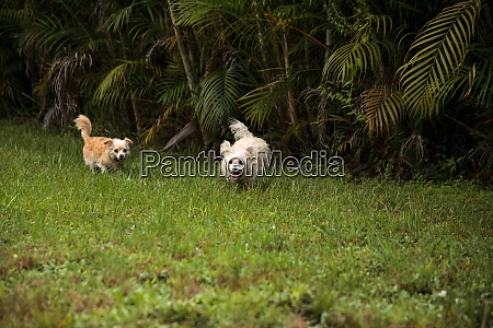 two dogs playing including a happy