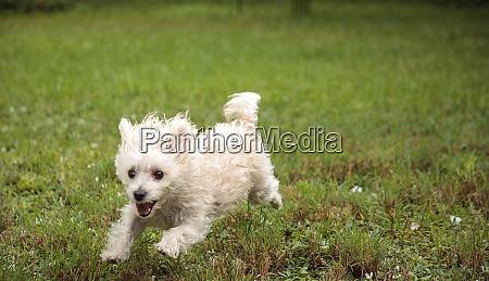 happy running west highland terrier dog