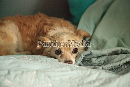 timid blond chihuahua dog between pillows