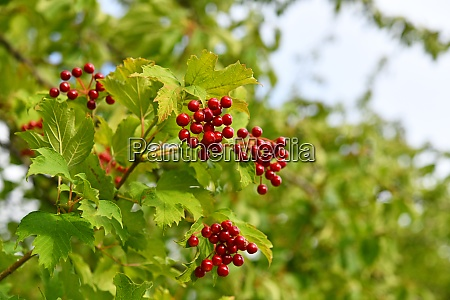 red fruits of the virburnum opulus