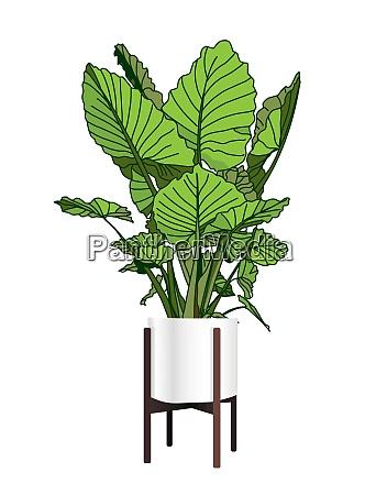 alocasia a trendy houseplant modern flower