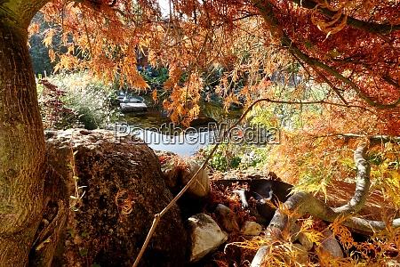 herbstlaub an einem faecherahorn acer palmatum
