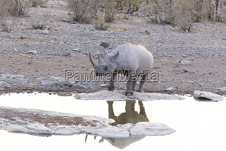 a rhino at water hole