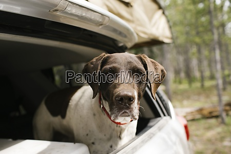 german shorthaired pointer in car trunk
