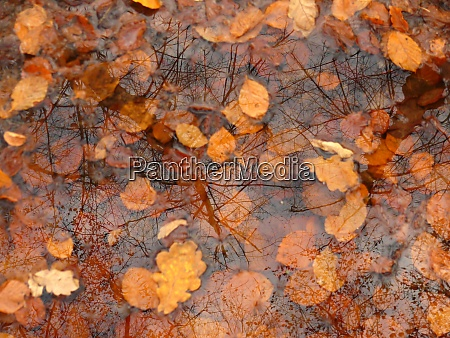 puddle autumn foliage