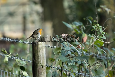 robin standing on a wooden fence