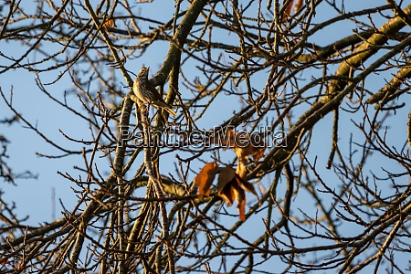 redwing turdus iliacus perched in a