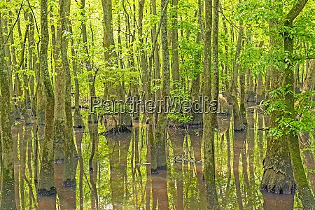 deep in a cypress swamp
