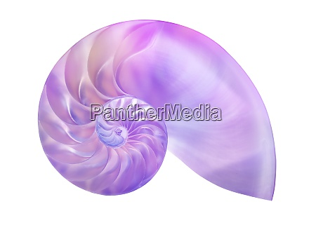 nautilus shell on white background