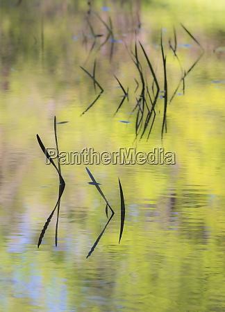 usa georgia grass in calm pond