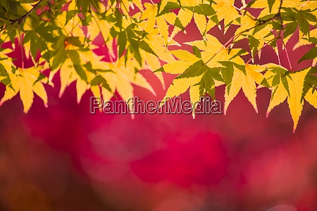 red and yellow autumn leaves background