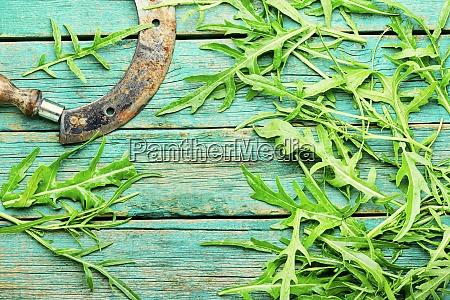 green fresh rucola leaves