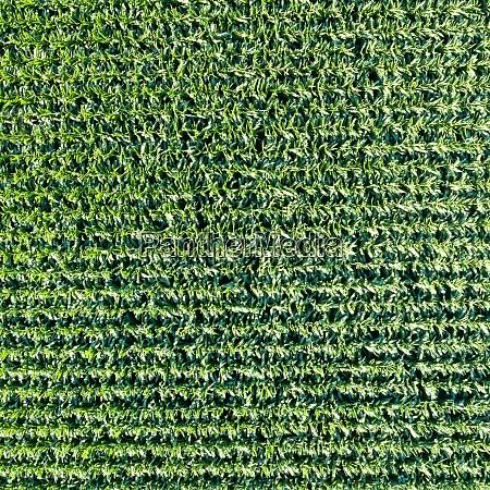 corn field grain background drone view