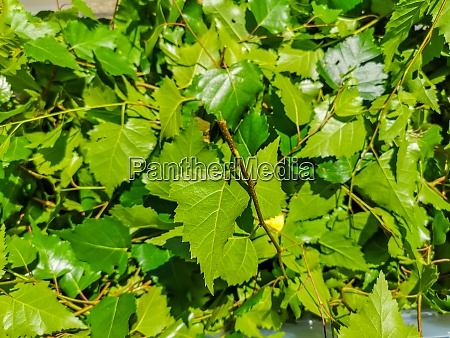 fresh green leaves from a birch