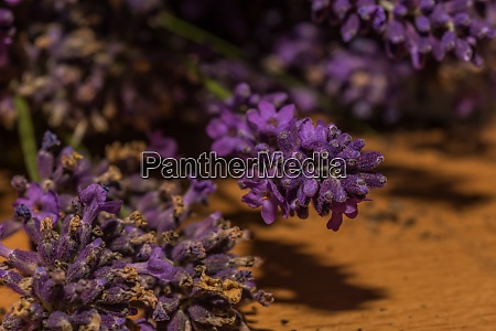fresh lavender flowers in spring collected