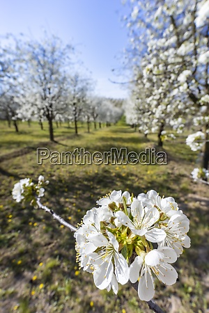 flowering cherry orchard near cejkovice southern