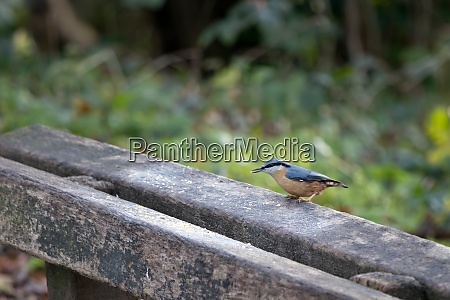 nuthatch perched on a wooden bench