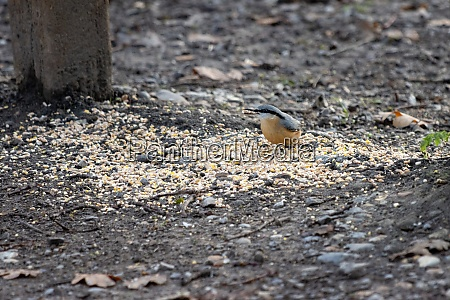nuthatch by a wooden bench ready