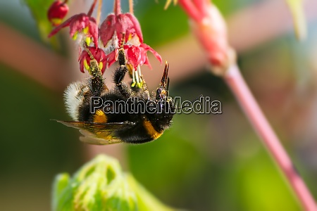 macro of anorthern white tailed bumblebee