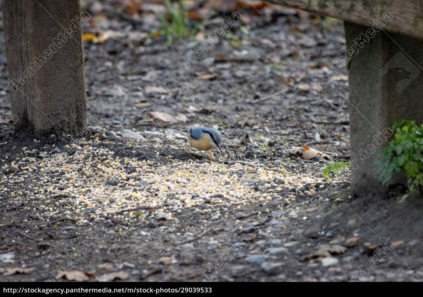 nuthatch, by, a, wooden, bench, ready - 29039533