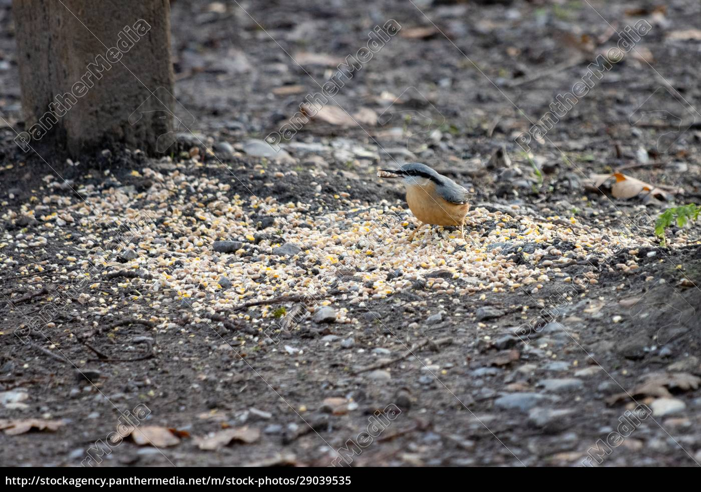 nuthatch, by, a, wooden, bench, ready - 29039535