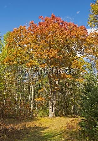 massive oak in fall colors