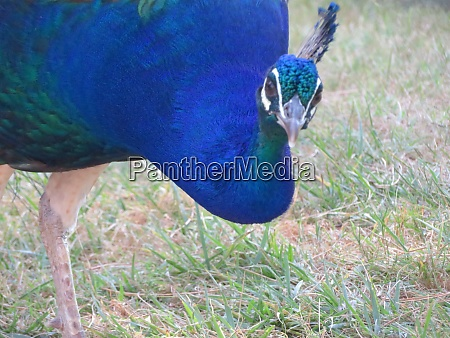 beautiful peacock of fantastic bright colors