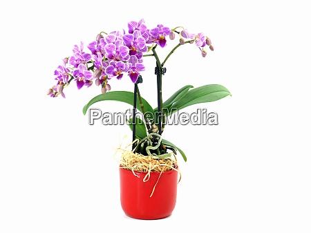 dwarf orchids bouquet