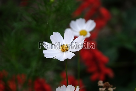 white cosmos flower is blooming in
