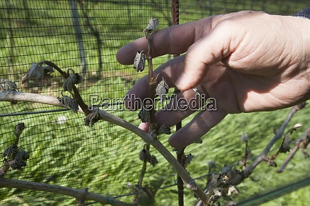frost damage in wine plants