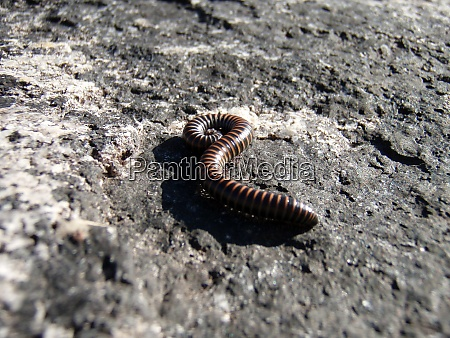 a millipede or centipede animal