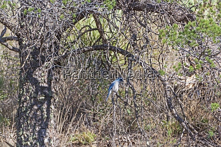 mexican jay in the scrub