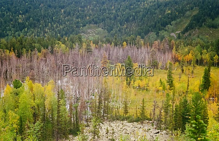 autumn nature of altai forests and