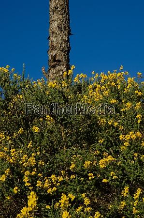 canary island pine and canary island