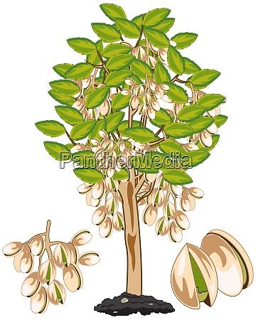 vector illustration fruit ripe pistachio on