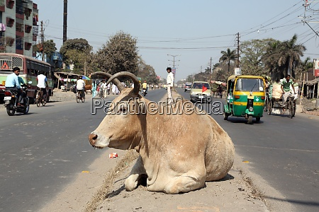 cow resting between two lanes of