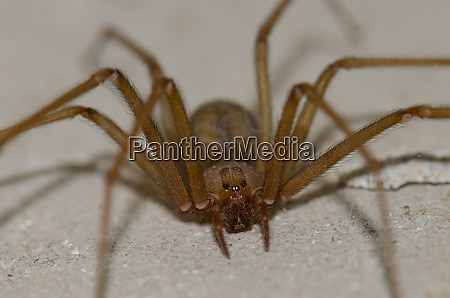 front view of a mediterranean recluse
