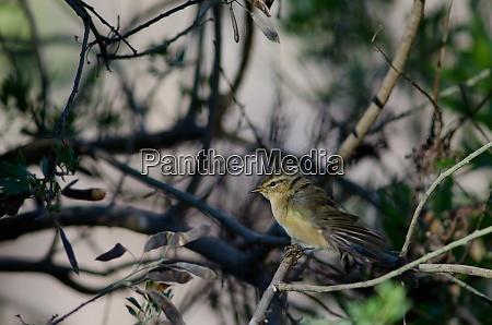 canary islands chiffchaff phylloscopus canariensis stretching