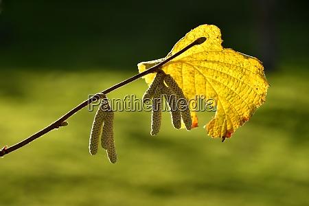 autumnal colored hazelnut leaf in backlit